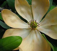 Imperfect Magnolia by Leslie Wood