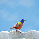 Elusive Mr. Painted Bunting by Bonnie T.  Barry