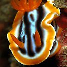 Chromodoris magnifica by MattTworkowski