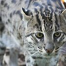 Endagered Fishing Cat by Steve Bullock