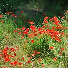 Poppies by sandgrouse