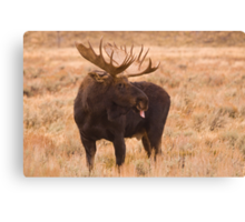 Bull Moose, Gros Ventre River, Wyoming Canvas Print