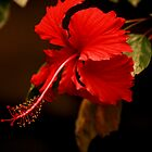 Big  Red Hibiscus by terrebo