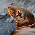 Young Sea Lion by Ed Lark