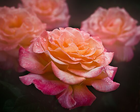Peach roses  by Rosalie Dale