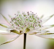 Astrantia Dream by Jacky Parker
