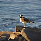 Killdeer by TingyWende