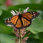 Monarch by Carol Smith