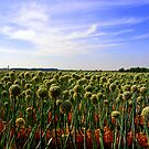Onion Field by julesdavis