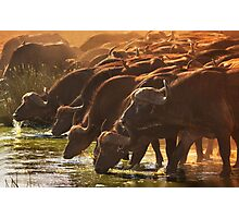 Buffalo at the Waterhole, West Tsavo NP, Kenya. Africa. Photographic Print
