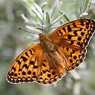 Dark Green Fritillary Butterfly by Michael Field