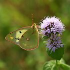 Pale Clouded Yellow Butterfly on Water Mint Flowers by Michael Field