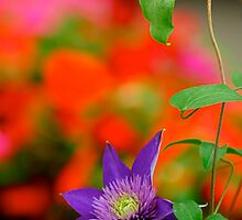 Color Me Clematis by Pamela Hubbard