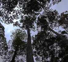 Under the Eucalyptus tall trees Canopy  by cradlemountain