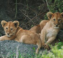 Lion Cubs by Kyle Jerichow