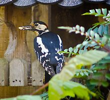 Great Spotted Woodpecker........ by jdmphotography