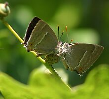 Purple Hairstreak Butterflies on an Acorn by Michael Field