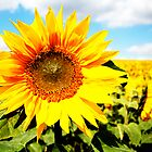 Sunflower by lousutherland