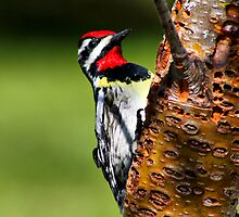 Yellow-Bellied Sapsucker by Teresa Zieba