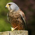 Kestrel by MendipBlue