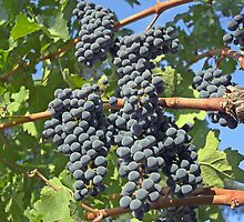Napa Valley grapes by Christopher Barton