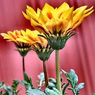 Mexican sunflowers by Sheri Nye