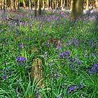 Bluebells in the wood by Andy Pearson