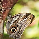 Owl Butterfly by Gail Fletcher