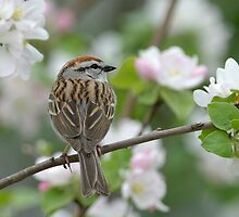 Chipping Sparrow by the apple tree by okcandids