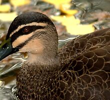 Pacific Black Duck II by Tom Newman