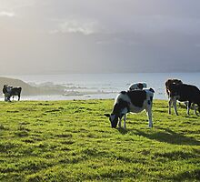cow glow, New Zealand  by Christopher Barton