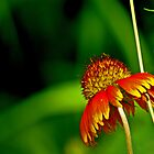 Indian Blanket 1 by kittyrodehorst