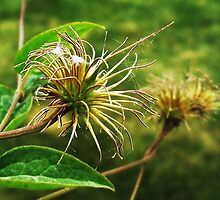 NAKED CLEMATIS by trueblvr