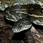 Coastal Carpet Python by David Cash