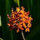 Crucifix Orchid by David Cash