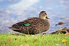 Sitting, Pacific Black Duck by Kristina K