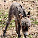Baby Donkey by Dennis Stewart