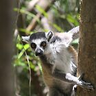 curious lemur by ChrisCoombes