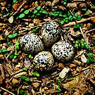 Quail Eggs - HDR by Sanguine