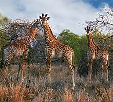 3 Giraffes in Swaziland, Africa by Bev Pascoe