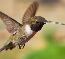 Black-Chinned Hummingbird by SB  Sullivan
