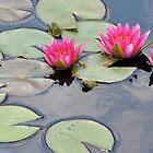Pink Water Lilies by Lindsaycope
