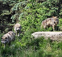 The Wolf Pack by cdudak