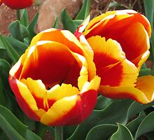Tulips at Wynyard by Leoni South
