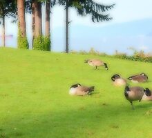 Canada geese by zumi