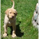 Yellow Lab by fire pit by tawaslake