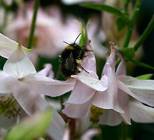 Aquilegia and bee by Bev Evans