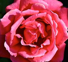 Red Rose by Richard Stephan Bergquist