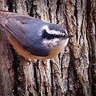 """Red-Breasted Nuthatch"" by Melinda Stewart Page"