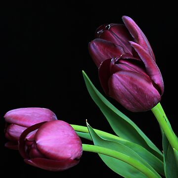 Dark Purple Tulips by RA-Photography